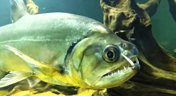 hewan-mengerikan-sungai-amazon